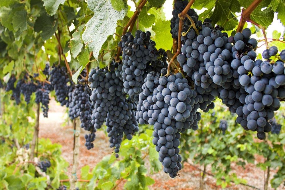 Los uruguayos consumen 22 litros de vino per cápita