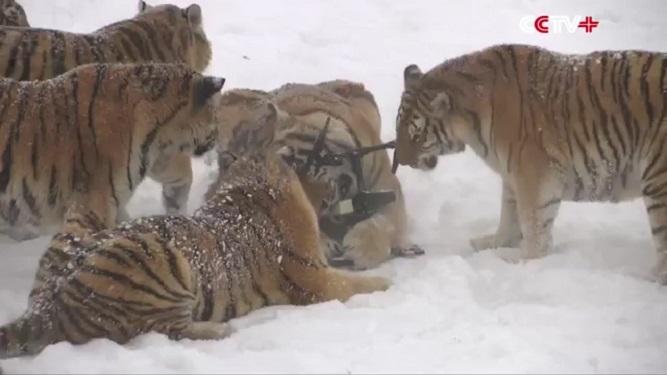 Así destrozan estos tigres a los drones que pasan  cerca